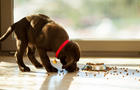 Cute puppy eating from its plate
