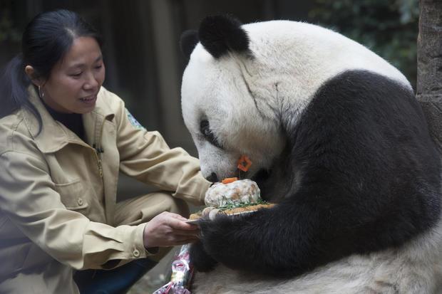 Giant Panda Basi Celebrates 35th Birthday In Fuzhou