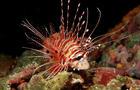 Spotfin lionfish, Pterois antennata, Philippinen, Bohol Sea, Pacific Ocean, Panglao Island, Bohol