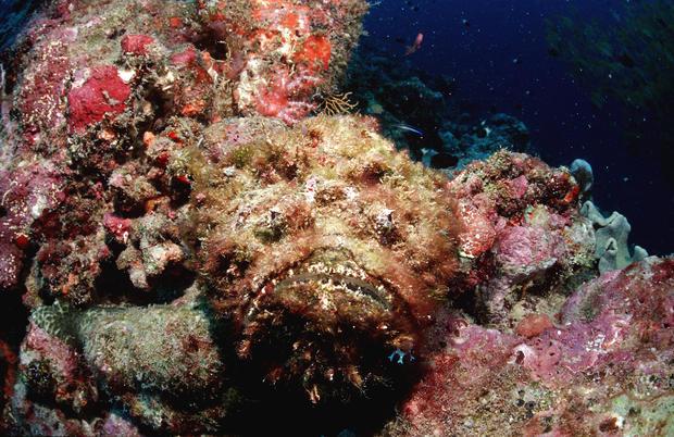 Reef stonefish, Synanceia verrucosa, Maldives Island, Indian Ocean, Ari Atol