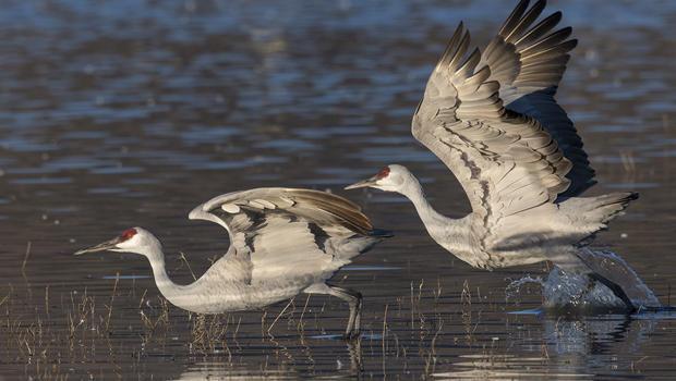 sandhill-cranes-taking-off-verne-lehmberg-620.jpg