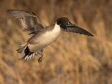 pintail-duck-coming-in-for-a-landing-after-a-long-migration-south-for-the-winter-verne-lehmberg-promo.jpg