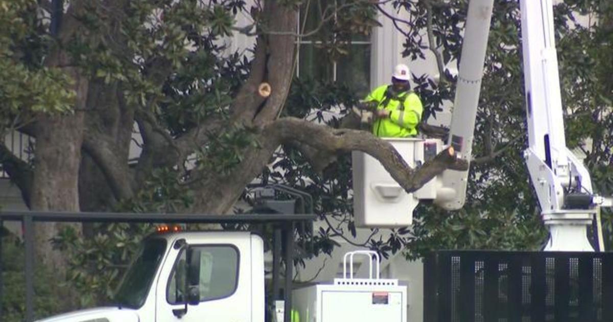 White House Says Historic Magnolia Tree Has Been Cut Back Cbs News