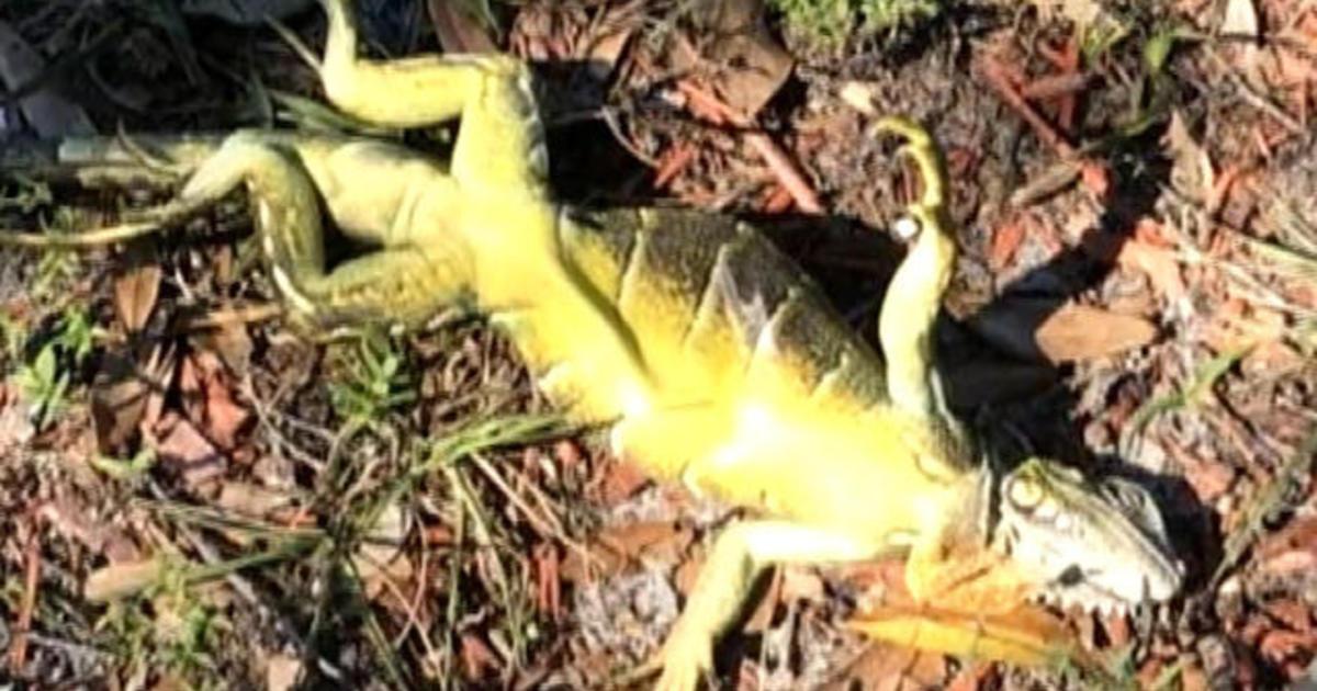 Why it's raining iguanas in Florida