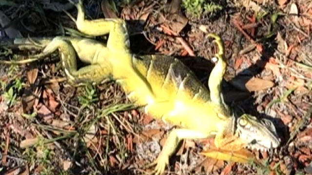 Florida: Frozen iguanas falling from trees during cold snap