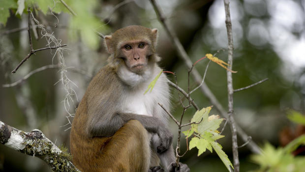 Killer herpes from Florida monkeys could pass to humans, scientists warn