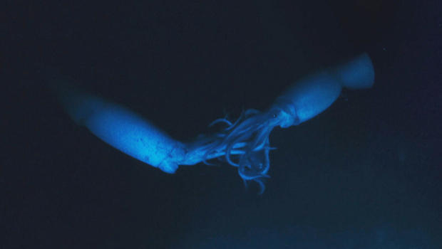 blue-planet-cannibalistic-giant-squid-620.jpg