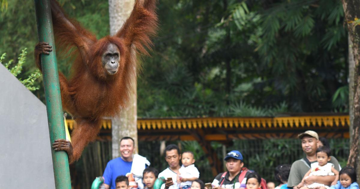 Amid killings, Borneo's endangered orangutans disappearing fast