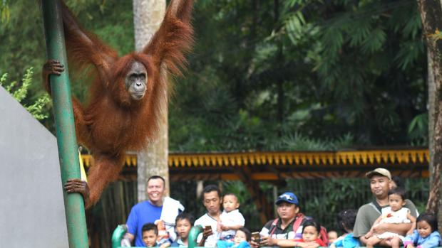Orangutans in jeopardy