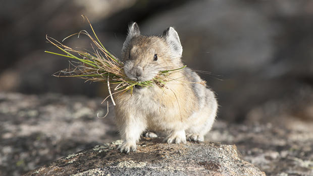 pika-with-grass-in-mouth-verne-lehmberg-620.jpg