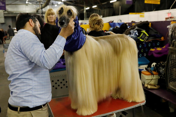 Leo, an Afghan hound breed, is groomed in the benching area on Day One of competition at the Westminster Kennel Club 142nd Annual Dog Show in New York