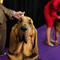 Hendrix, a Bloodhound breed, waits to enter the competition ring during Day One of competition at the Westminster Kennel Club 142nd Annual Dog Show in New York