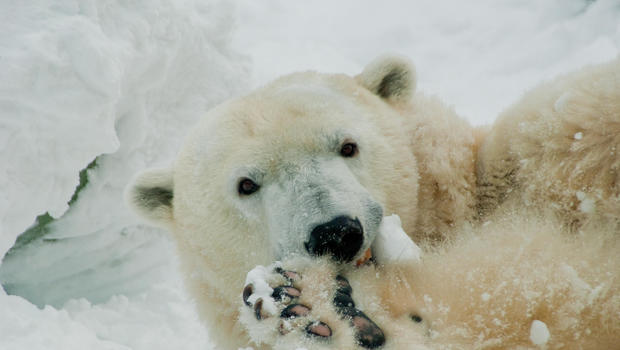 Philadelphia Zoo's 37-Year-Old Polar Bear Coldilocks Dies