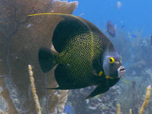 french-angelfish-zigg-livnet.jpg