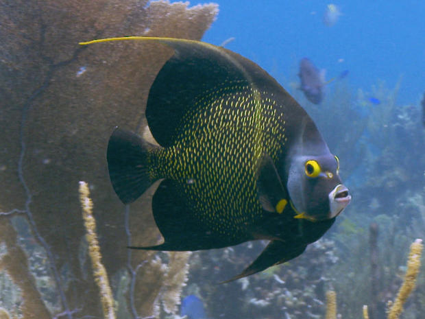 french-angelfish-zigg-livnet.jpg