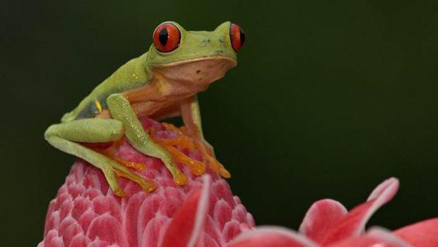 red-eyed-tree-frog-lynn-hunter-hackett-620.jpg