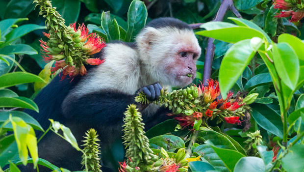 white-headed-capuchin-monkey-naimarkphoto-620.jpg