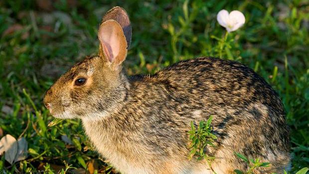swamp-rabbit-verne-lehmberg-620.jpg