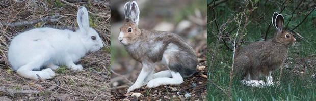 snowshoe-hares-across-the-seasons-verne-lehmberg-620.jpg