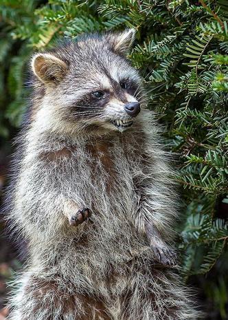 """Zombie-like"" raccoons terrorize Ohio town"