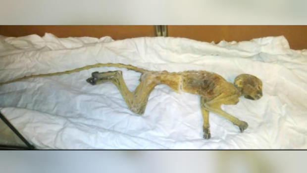 Workers renovating century-old department store find mummified monkey