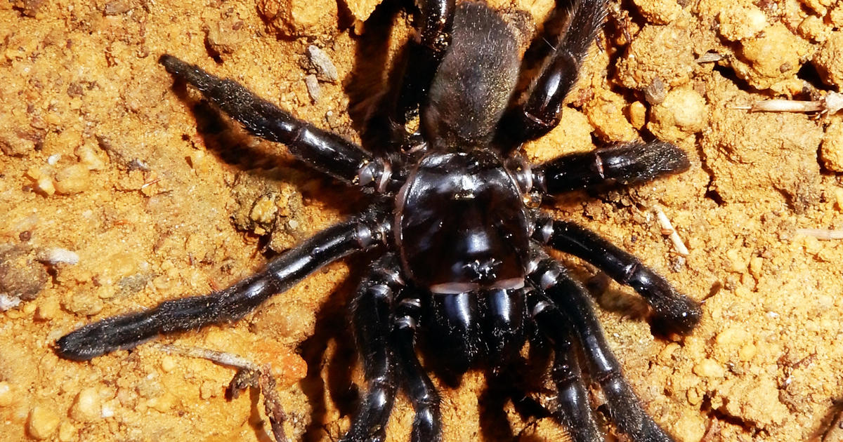 Australia spider believed to be world's oldest dead at 43