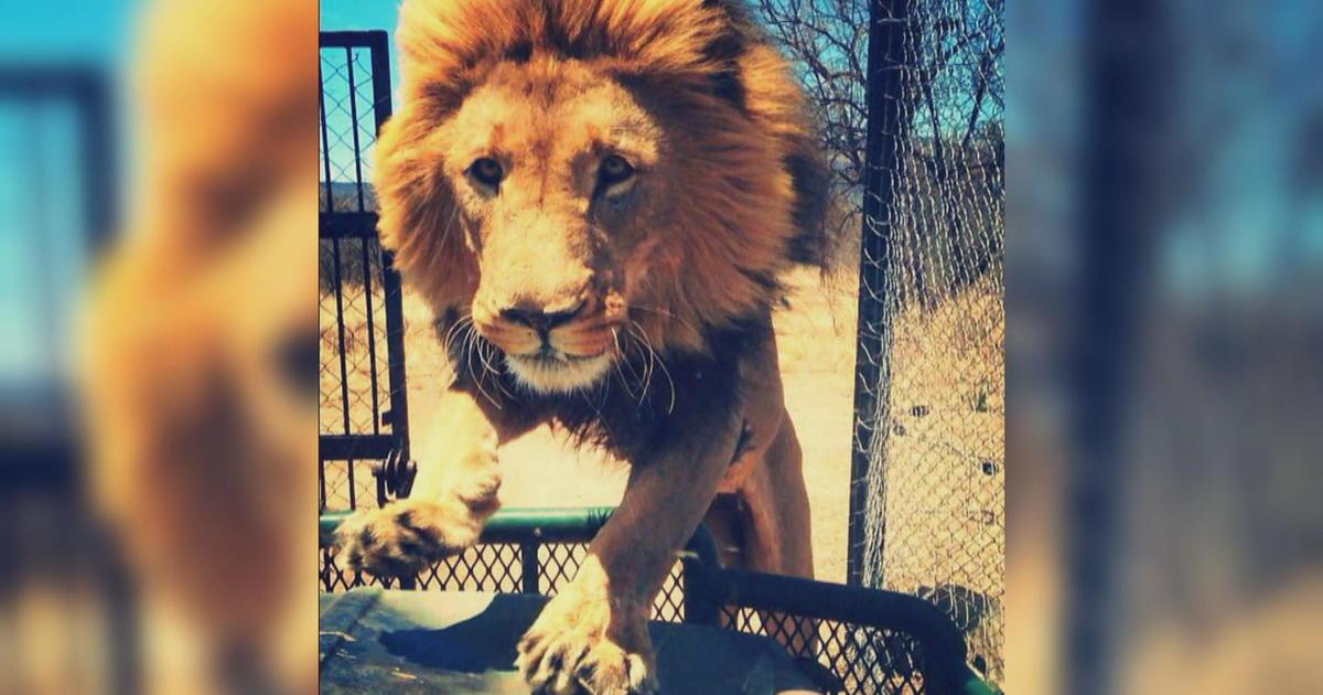Dramatic video shows shamba the lion mauling animal sanctuary owner dramatic video shows shamba the lion mauling animal sanctuary owner in south africa cbs news m4hsunfo