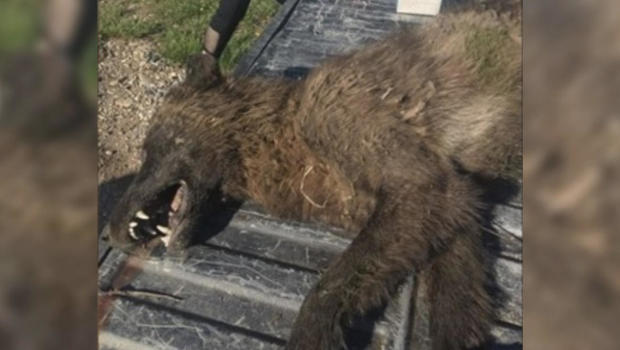 Odd wolf-like animal killed in Montana puzzles wildlife officials