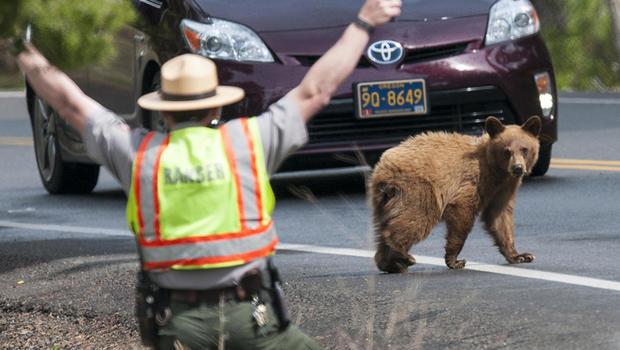 ranger-john-kerr-encourages-a-small-cinnamon-black-bear-to-keep-moving-verne-lehmberg.jpg