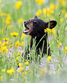 a-black-bear-cub-among-the-wildflowers-by-marcy-starnes-244.jpg