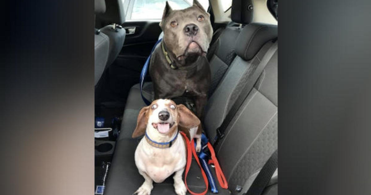 """Blind dachshund and pit bull who acts as his """"guide dog"""" have found a forever home together"""
