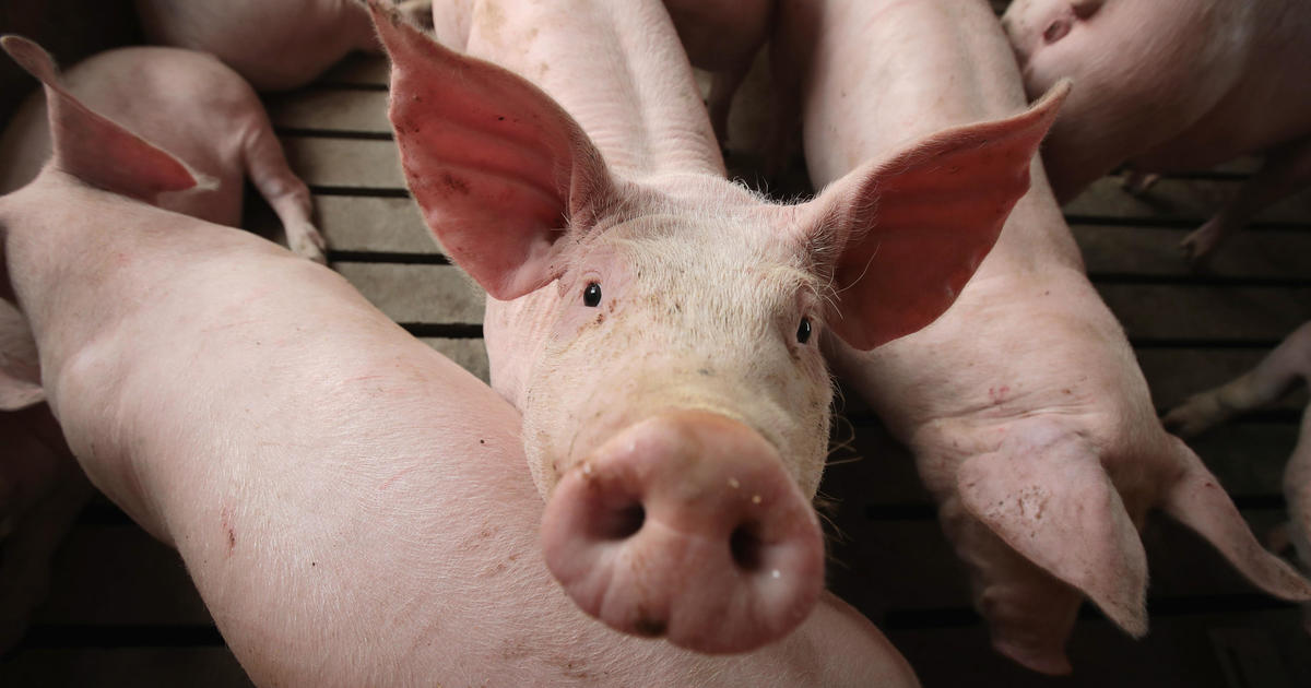 Scientists partially revived a pig's brain after the animal died