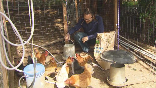 johan-land-chickens-620.jpg