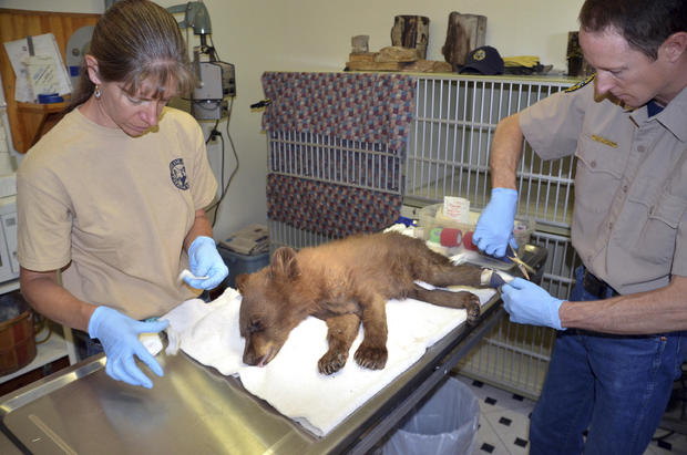 Colorado Wildfires Bear Cub