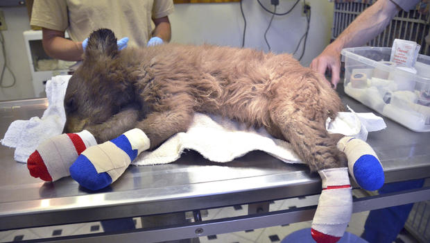 Injured bear cub rescued from Colorado wildfire