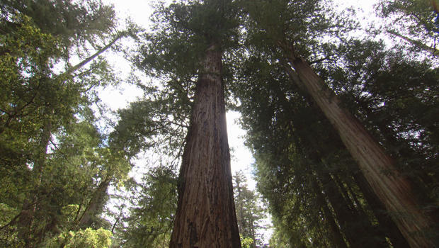 redwoods-the-father-of-the-forest-tree-620.jpg
