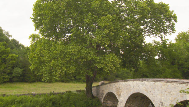 witness-tree-sycamore-burnside-bridge-antietam-620.jpg