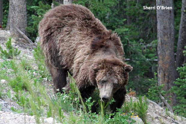 scarface-grizzly-bear-sherri-obrien-620.jpg