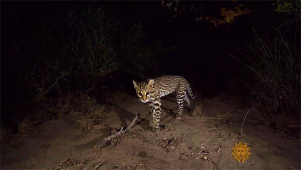 joel-sartore-cat-captured-with-camera-trap-620.jpg