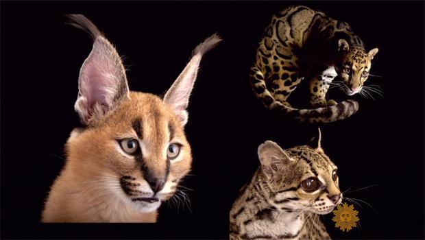 joel-sartore-wild-cats.jpg