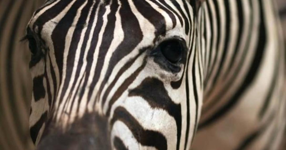 Zoo in Egypt accused of painting donkeys to look like zebras