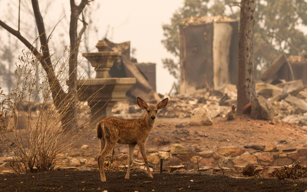 A fawn pauses near burned house as fire fighters battle the Carr Fire west of Redding