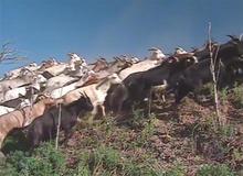 denver-goats.jpg
