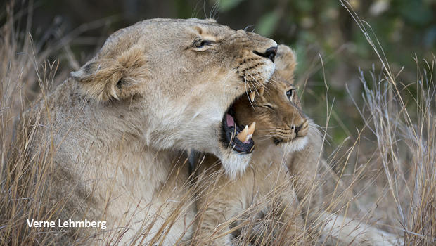lioness-snarling-with-cub-verne-lehmberg-620.jpg