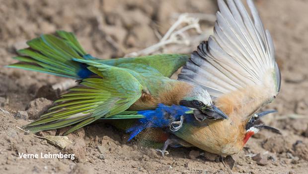 bee-eater-fight-verne-lehmberg-620.jpg