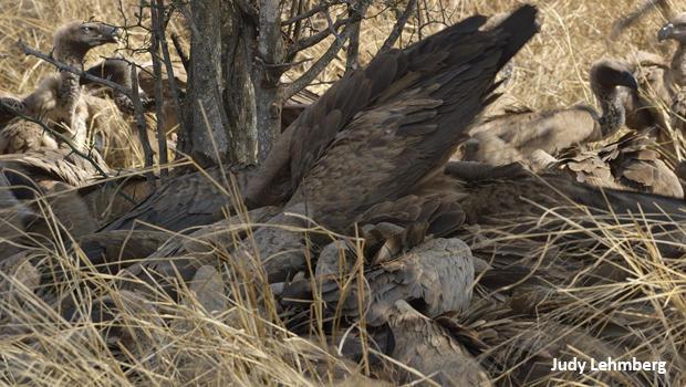 vulture-wingspan-kruger-national-park-judy-lehmberg-620.jpg