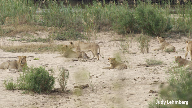 judy-lehmberg-sabie-river-lions-620.jpg