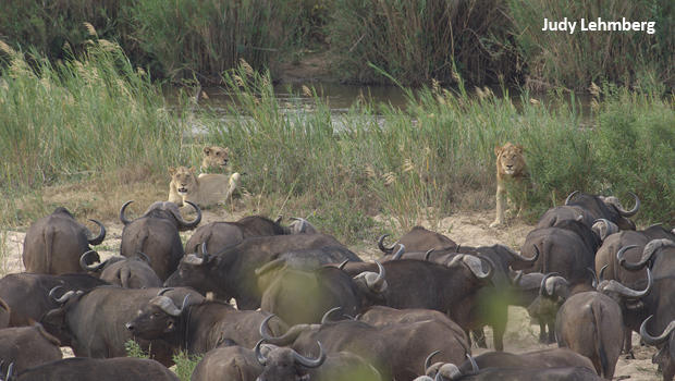 judy-lehmberg-sabie-river-lions-and-buffalo-who-is-attacking-whom-620.jpg