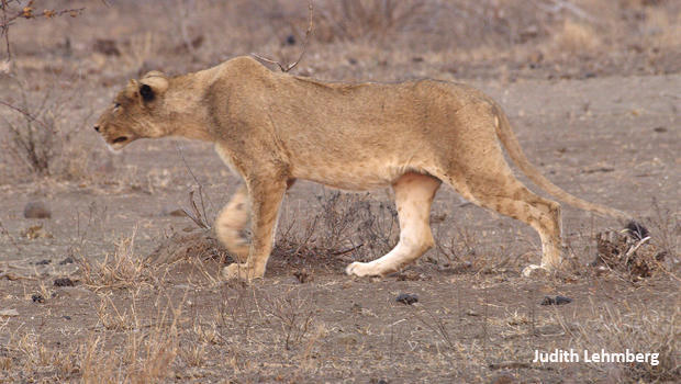young-lion-stalking-impala-judith-lehmberg-620.jpg