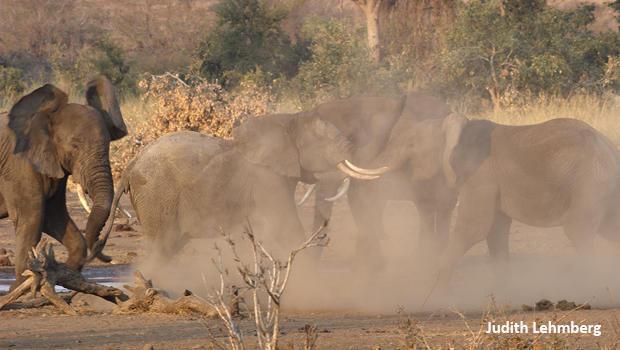 elephants-fighting-b-judith-lehmberg-620.jpg